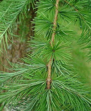 guidenr construction-bois > les bois de nos forêts > les résineux